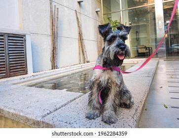 portrait standing adorable gray schnauzer outdoor