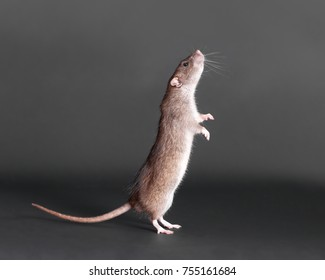 portrait of a standing brown domestic rat