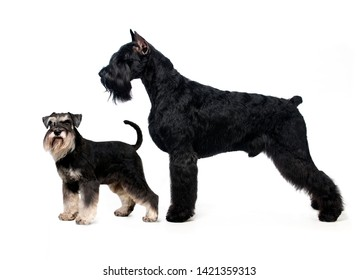 Portrait of standing in profile Giant Schnauzer and Miniature Schnauzer