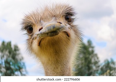 Portrait of a staring Ostrich