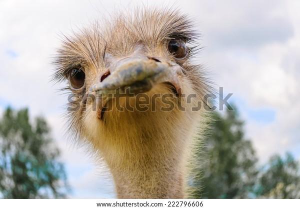 Portrait of a staring Ostrich