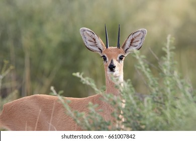 Portrait of Steenbok, Raphicerus campestris, wild animal in Kalahari, behind bushes. Small antelope on red sand of Kgalagadi. Steenbok on red dune. Kgalagadi transfrontier park, South Africa.