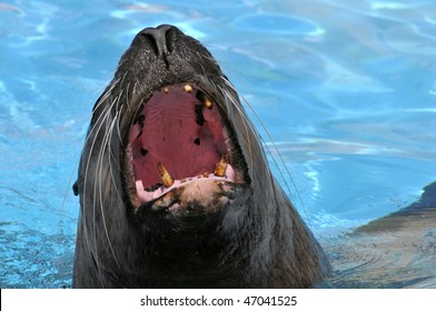 Portrait of steller sea lion (Eumetopias jubatus) opening the mouth on blue water background