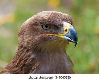 Portrait of a steppe eagle