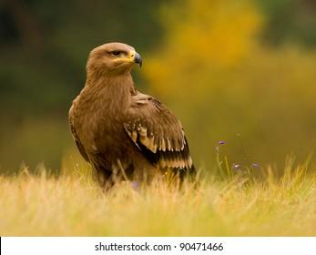 Portrait of a steppe eagle (Aquila nipalensis)