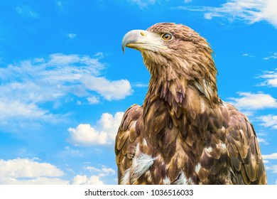 Portrait of steppe eagle. Bird of prey on a blue cloudy sky background.