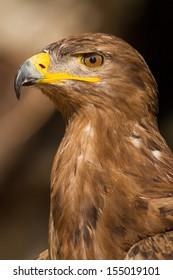 Portrait of a steppe eagle (Close-up of Aquila nipalensis)