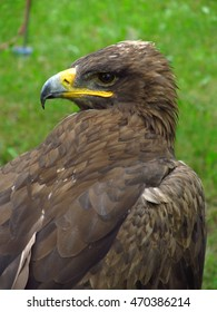 Portrait of steppe eagle with strong beak