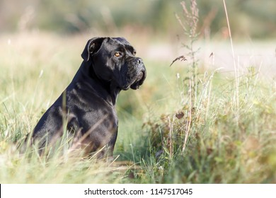 Portrait of stern Italian cane Corso sitting in the green lawn and looking to the distance