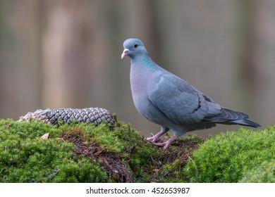 Portrait of a Stock dove