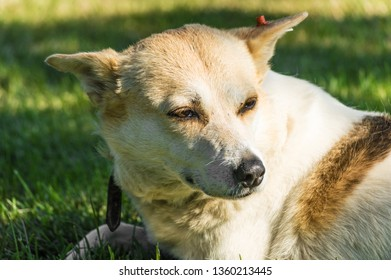 Portrait of a stray dog laying on grasses in a park on a sunny day.