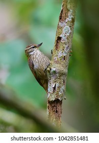 Portrait of Streaked Xenops (Xenops rutilans) perched on old branch