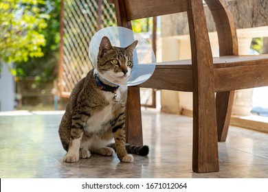 Portrait of striped cat with Elizabethan collar, close up Thai cat