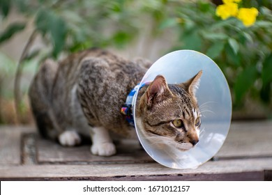 Portrait of striped cat with Elizabethan collar at the garden, close up Thai cat