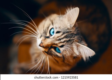 Portrait of striped cat. Grey cat with blue eyes animal striped cute sweet is looking up right to the camera.