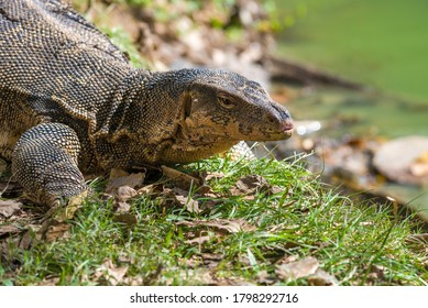 Portrait of the striped monitor lizard (Varanus salvator) from Lumpini park on a sunny day. Bangkok, Thailand