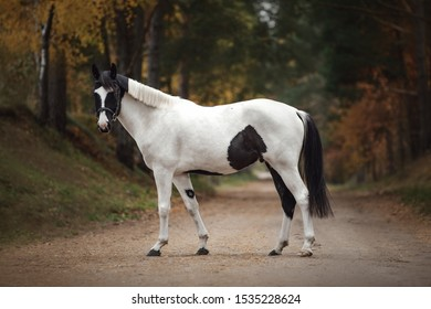 portrait of stunning black and white pinto gelding horse on the road in autumn forest