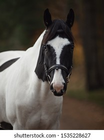 portrait of stunning black and white pinto gelding horse in autumn forest