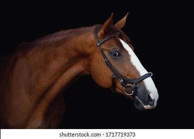 portrait of stunning dressage chestnut budyonny gelding horse in bridle isolated on black background