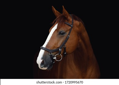 portrait of stunning dressage chestnut budyonny gelding horse in bridle isolated on black background