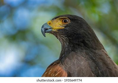 Portrait of stunning Harris eagle