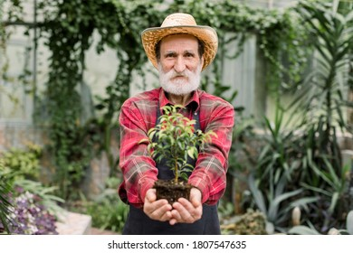 Portrait of stylish senior 70-aged man gardener botanical worker in hothouse, in straw hat and red casual shirt, standing among green plants in hothouse showing little ficus to camera. Focus on face