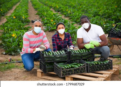 Portrait of successful international team of farmers wearing medical face masks to prevent COVID 19 infection posing near boxes with freshly picked zucchini during harvest