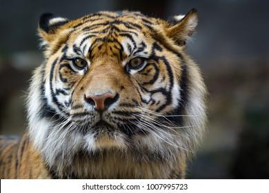 Portrait of a Sumatra tiger looking at the camera