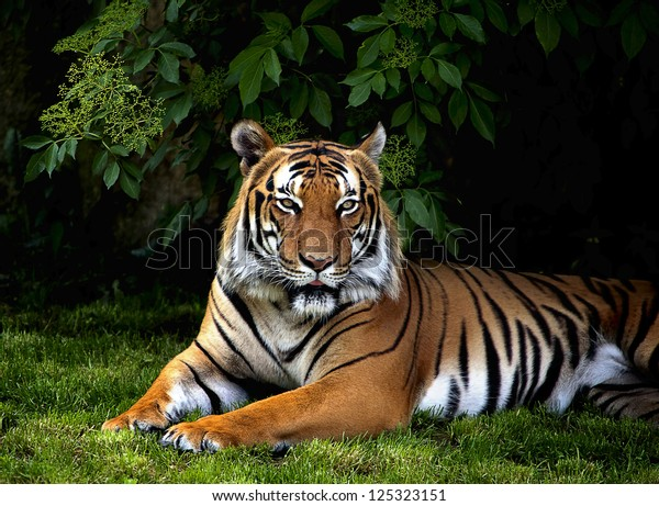 The portrait of Sumatran tiger