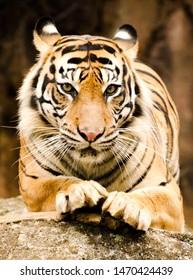 portrait of sumatran tiger indonesia