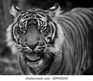 Portrait of Sumatran Tiger Panthera Tigris Sumatrae big cat in captivity