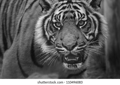 Portrait of Sumatran Tiger Panthera Tigris Sumatrae big cat in captivity in black and white monochrome