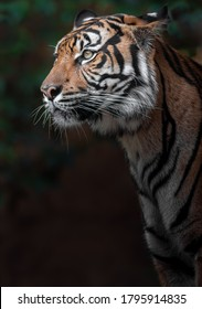 Portrait of Sumatran tiger in zoo.