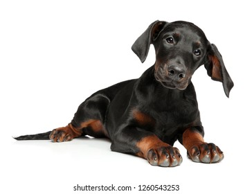 Portrait of a surprised young Doberman puppy, lying on a white background. Animal themes