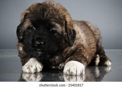 Portrait of sweet 1,5 month old kavkazskaya ovcharka  ( Caucasian shepherd dog puppy )