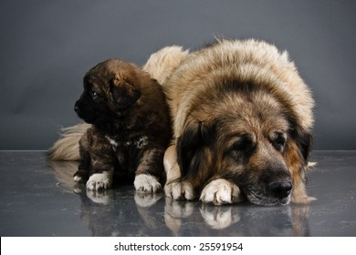Portrait of sweet 1,5 month old kavkazskaya ovcharka with mother  ( Caucasian shepherd dog puppy )