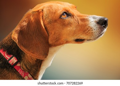Portrait of a sweet Beagle dog looking to the right with a soft background