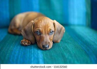 Portrait of sweet little baby Dachshund