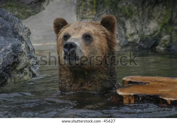 Portrait of swimming brown bear