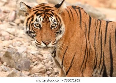 Portrait of T60 Tiger looking towards camera in Ranthambhore National Park