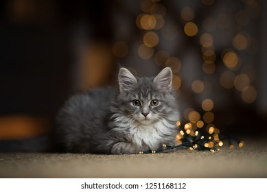 portrait of a tabby blue maine coon kitten lying on a sisal carpet next to a light string