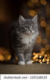 portrait of a tabby blue maine coon kitten standing on a sisal carpet in front of bokeh lights