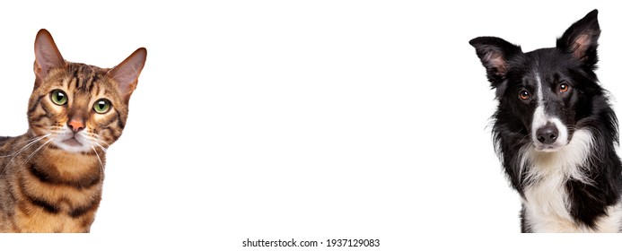 portrait of a tabby cat and a border collie sheepdog looking at the camera in front of a white background