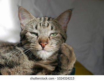 Portrait of a tabby cat with lifted paw