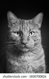 Portrait of a tabby cat looking straight to the camera. Vertical black and white image.