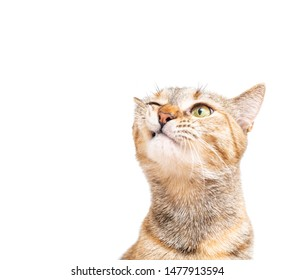 Portrait of tabby ginger color cat with funny expression on a white background.