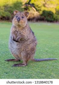Portrait taken of a quokka in the oval on Rottenest Island, Perth, Australia.