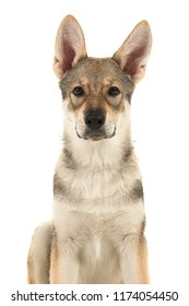 Portrait of a tamaskan hybrid puppy looking at the camera on a white background with mouth closed