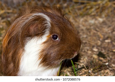 Portrait of a tame guinea pic (Cavia porcellus).