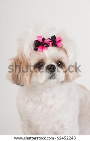 Portrait Tan White Shih Tzu Puppy Pink Stock Photo Edit Now